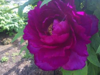 こちらは牡丹。大きいものでは花が30センチ近くにもなるのだとか。艶やかで大迫力の姿を心ゆくまで堪能しましょう。