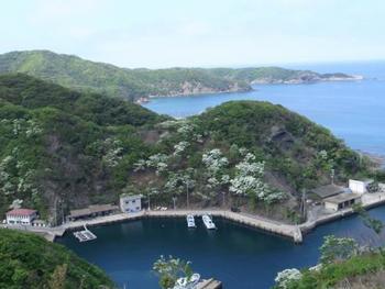 別名を「なんじゃもんじゃの木」というヒトツバタゴ。日本では絶滅危惧種に指定されている希少種です。対馬・鰐浦は国内最大の自生地で約3,000本が自生しており、国の天然記念物にも指定されています。