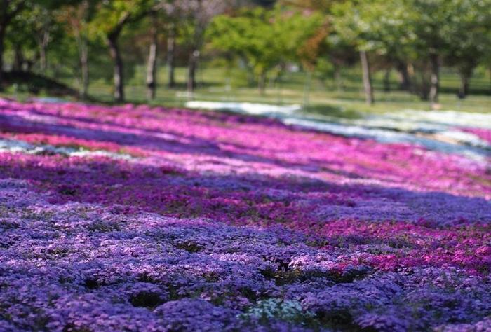 北アメリカ原産の多年草。桜とよく似た小さな花が協力し合って花のじゅうたんを作り上げていく様子が、花言葉のモチーフとなったといわれています。