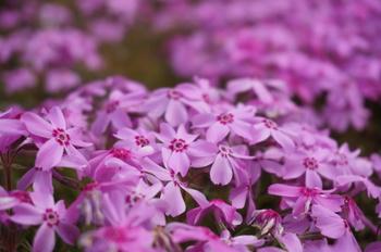 花の色は、ピンク、紫、ブルー、白。赤もあります。常緑で、密生するため、お庭や花壇のグランドカバーにもおすすめ。