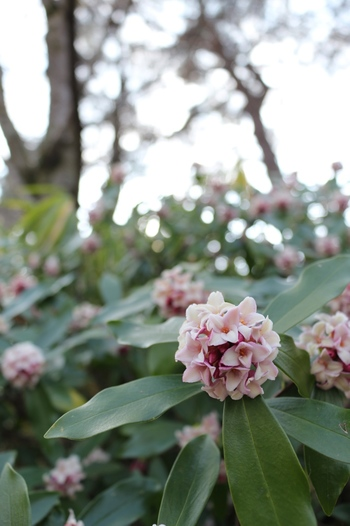 春の訪れを実感させてくれる甘く爽やかな香り♪キンモクセイ、クチナシと並ぶ三大香木(さんだいこうぼく)の1つです。 学名の「Daphne odora(ダフネの芳香)」は、ギリシア神話の中で、アポロから逃れるため月桂樹に姿を変えたダフネにちなんで。葉っぱが月桂樹によく似ていることからこの学名になったそう。