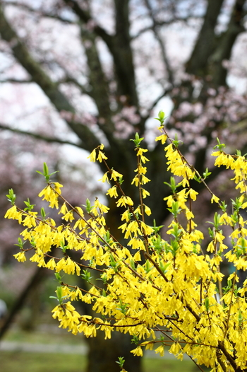 原産地は中国。学名のForsythiaは、英国王立植物園の監督官を務めたウィリアム・フォーサイス(William Forsyth、1737~1804)の名にちなんで。シナレンギョウ、チョウセンレンギョウ、ドイツレンギョウなどの品種があります。
