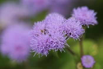 アゲラタムの花言葉は『信頼・幸せを得る・安楽・永久の美・あなたの返答を待ちます』  アゲラタムは「カッコウアザミ」とも呼ばれ、ふわっとした淡い印象で個性の強い花との組み合わせも◎寄せ植えでもはっきりとした主張のある花をひきたてる、名脇役でもあります。