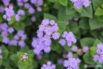 背の高い品種と低いものとがあるので、目的や用途によって植える品種を選べます。