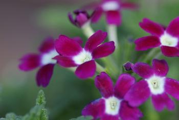 バーベナの花言葉は『赤色/団結 白色/私のために祈ってください ピンク/家族の和合』  【美女桜】の異名を持つバーベナは、あまり手もかからず初心者さんにもおすすめの育てやすい花です。