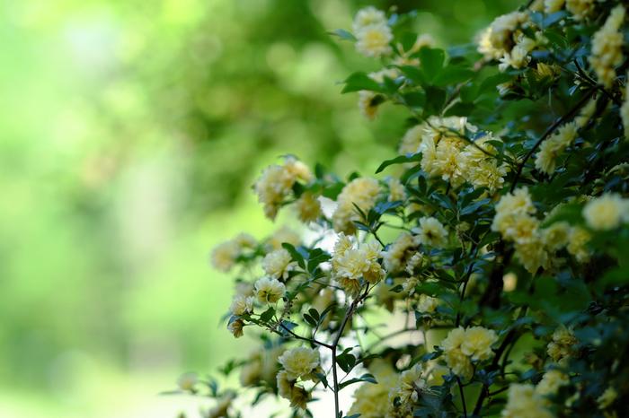 中国原産の棘のない常緑のつるバラ。一重咲きか八重咲きで、花色は白か淡い黄色。一般的に、モッコウバラと呼ばれるのは、黄色い八重咲きの花とされています。