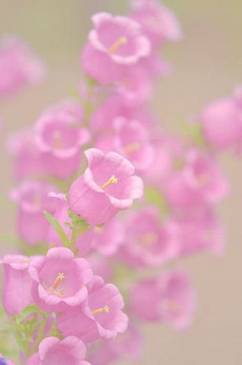 カンパニュラの花言葉は『誠実・感謝・節操』  かわいい形の可憐な花を咲かせます。釣り鐘のような形をしていることから「つりがねそう」とも呼ばれています。
