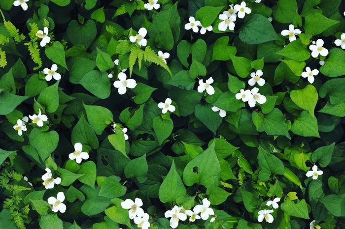 """ドクダミ科ドクダミ属の多年草。白いのは花びらではなく苞(ホウ)。かわいさに惹かれて摘んだら、""""くさっ""""なんて思い出がある方も多いのでは。 最近ではドクダミ茶の原料としておなじみですが、花言葉は、古くから、漢方では10種類もの効能から「十薬(じゅうやく)」とされ、民間療法でも使われていることに由来するのでしょう。ちぎれた茎からも発根するという""""野生""""のたくましさ、見習わなきゃ(^◇^)"""