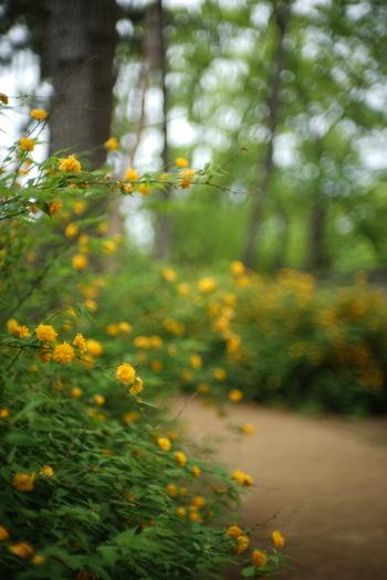 日本原産の落葉低木で、花は一重と八重咲きがあります。学名はスコットランドの植物学者/プラントハンターWilliam Kerrにちなむとか。日本では、10あまりの市町村の花に指定されています。