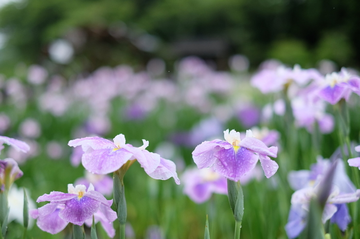 熊本市街地から車で約2時間、天草は下島にある西の久保公園は、里山と棚田を利用した大きな自然公園です。棚田部分に菖蒲が植えられていて、高低差があるので色々な角度からベストショットを狙えます。花の間を通る遊歩道もとてもいい雰囲気です。