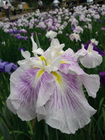 毎年5月下旬から6月上旬の花期にはしょうぶ祭が催され、夜間のライトアップも行われます。灯籠に照らされ、薄闇に浮かぶ菖蒲の花は幻想的。昼とはまた違った表情を見せてくれます。