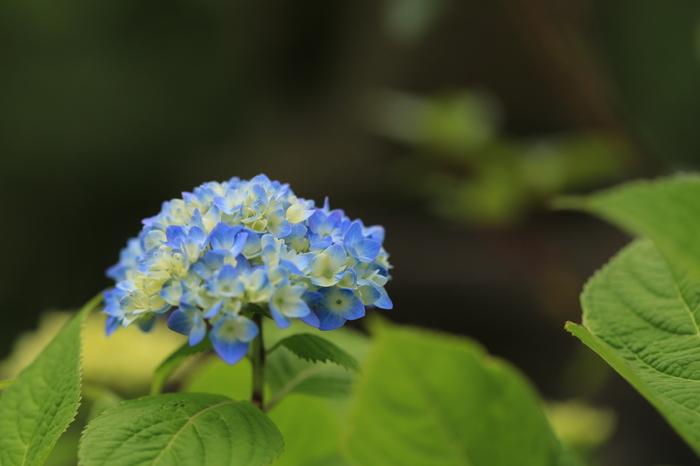 園内には6,000株もの紫陽花も咲き、また公園内の溜め池にはホテイアオイが群生し、水面を薄青く染める光景も見られます。
