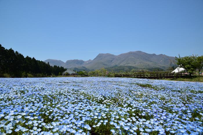 見渡す限りいちめんの青! スカイブルーの小さな花が空と溶け合う様はまるで天国に来たような気分。ネモフィラの絨毯というと茨城県ひたちなか市が有名ですが、大分の山の中でも小さな楽園に出会えます。