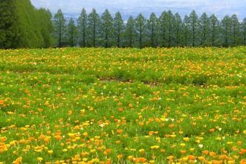まるでイギリスの田園地帯にでも来たかのようなこの風景。メタセコイアの並木もとても美しいですね。霧島山の麓に広がる高原一帯に花が植えられ、まさに「見渡す限りの絶景」です。一面黄色に輝く菜の花畑も有名です。