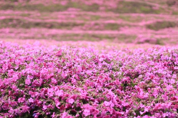 テレビ番組などで紹介され、一躍注目の芝桜スポットとなった新富町・黒木さんのお宅。明るくて人との触れあいが好きだった奥様は病気から目が不自由になってしまい、家に閉じこもるように。そんな奥様の為にお客を呼び寄せようと、苗を植え、水遣り、肥料、土運びとすべての管理をたった1人で行い、600坪もの面積に芝桜を咲かせるようになったのだそうです。
