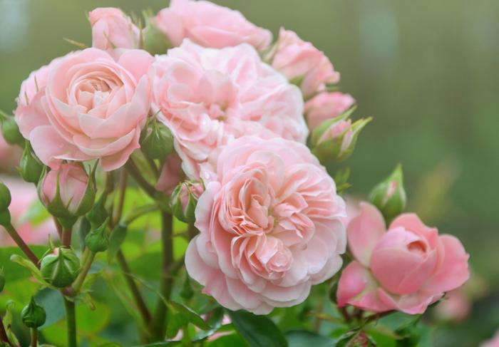 淡い色合いがとても美しいバラ。香りがこちらまで漂ってきそうです。