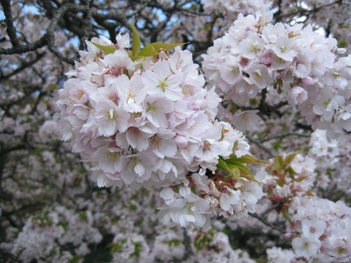 【京都御苑『車返桜』は、サトザクラの一品種の『御所御車返し』で、『御車返し』とは別品種。『車返桜』は、後水尾天皇が外出した際にあまりの美しさに御車を引き返して賞賛したことから名が付いたと云われる。】