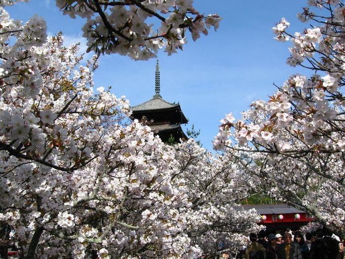"""【仁和寺の『御室桜』は、花びらが厚く、花(鼻)が低い(背丈が低い)ことから、""""お多福桜""""という別名がある。】"""