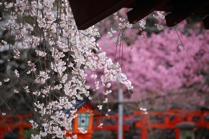 【紅色が艶やかな『陽光桜』を背景にした枝垂れ桜『魁』。陽光桜は、里桜の天城吉野と寒緋桜を交配して誕生した桜。】