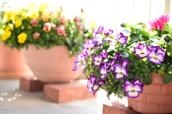 テラコッタの鉢で寄せ植えはいかがですか?春植えの花で一気にベランダが華やかになります。テラコッタ鉢は排水もよく乾燥しやすいので、湿気を好む花にはこまめに水やりを。