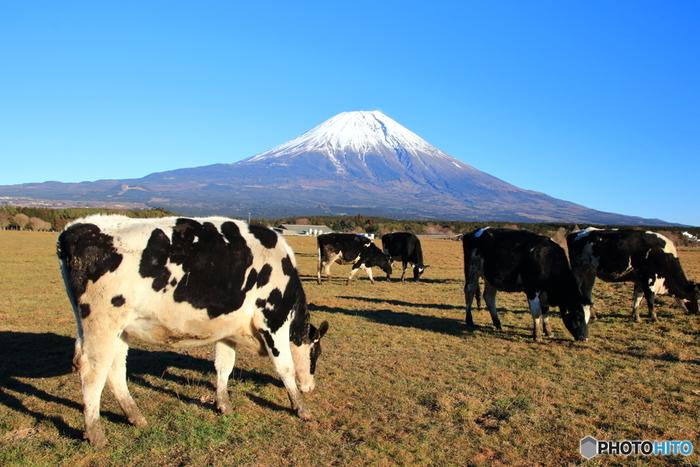 【酪農盛んな「朝霧高原」は、実にのどやか。偶には牛に見習ってゆったりと過ごしましょう。】