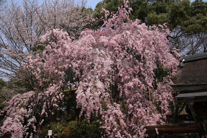 【細殿傍らに咲く『みあれ桜』は、葵祭の神事の一つ「御阿礼(みあれ)」が、この桜の下で行われることから名付けられた紅枝垂れ桜。】