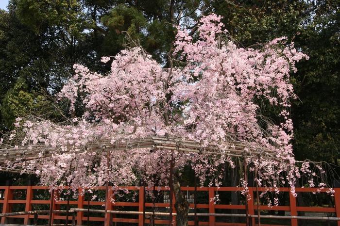 【上賀茂神社の名木の一つ『風流桜』】