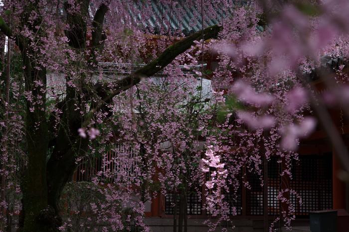 【平安神宮の『八重紅枝垂』】