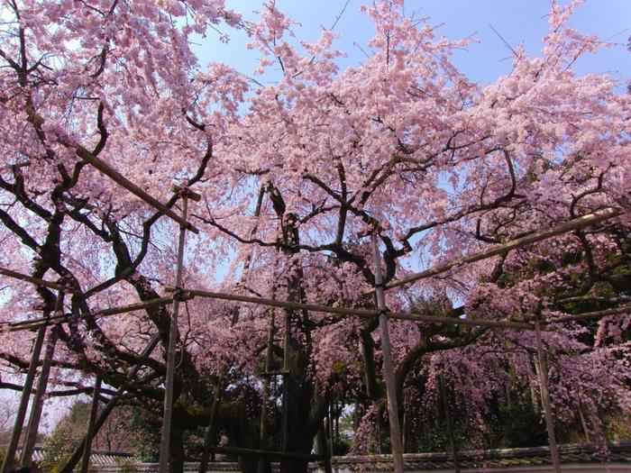 【「三宝院」の枝垂れ桜】