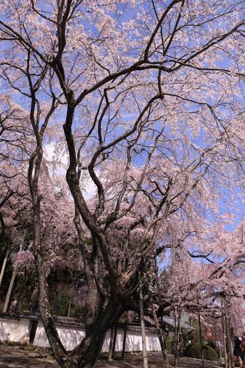 【醍醐の花見のハイライト「三宝院」入口前の樹齢150年の『太閤しだれ桜』】