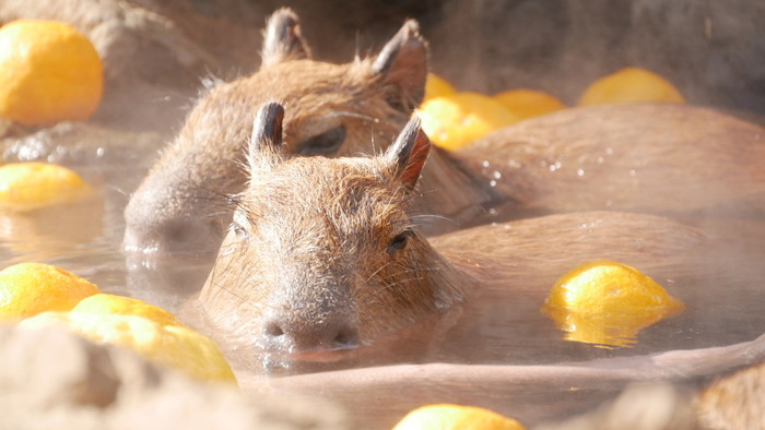 伊豆名産のだいだいやつばきを入れた「カピバラの変わり湯」。