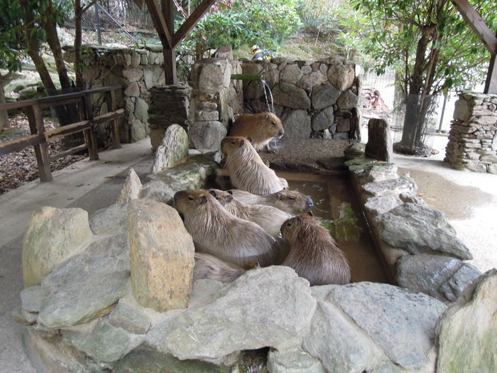 長崎バイオパークのカピバラ