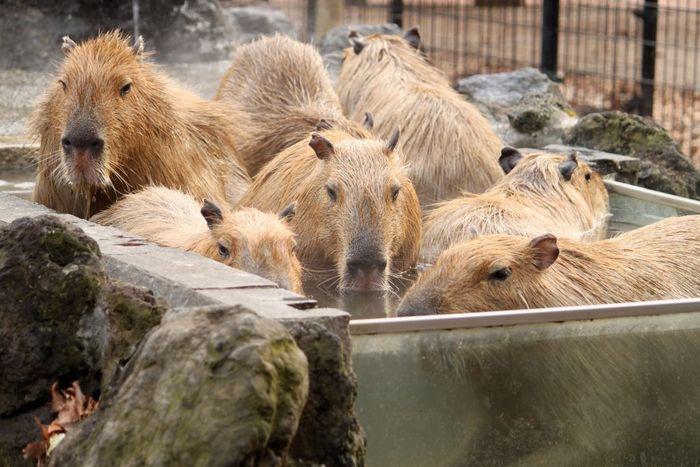 カピバラに大人気の温泉