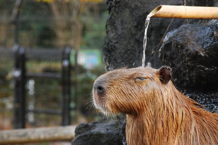 埼玉こども動物自然公園では、カピバラ温泉の打たせ湯も人気です。カピバラにも人気で、順番待ちの列が…きちんと並んで待っている姿が日本人みたいで親近感!
