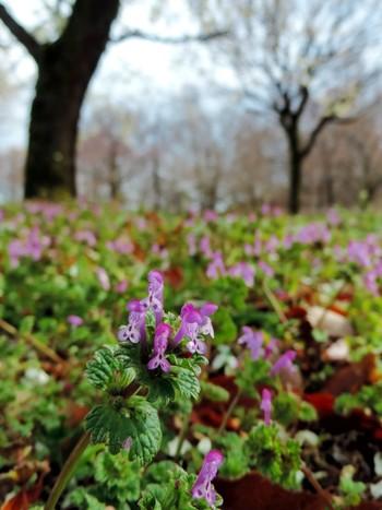 早春から晩春にかけて、道端や人里近くに咲く、シソ科オドリコソウ属の一年草/越年草。 葉が茎を取り囲むむようについている姿を仏さまの蓮華座に見立てたところから、花言葉が生まれたとか。昭和の子どもたちは、筒状の花をはずして蜜を吸って遊びましたが、今の子は知っているかな?