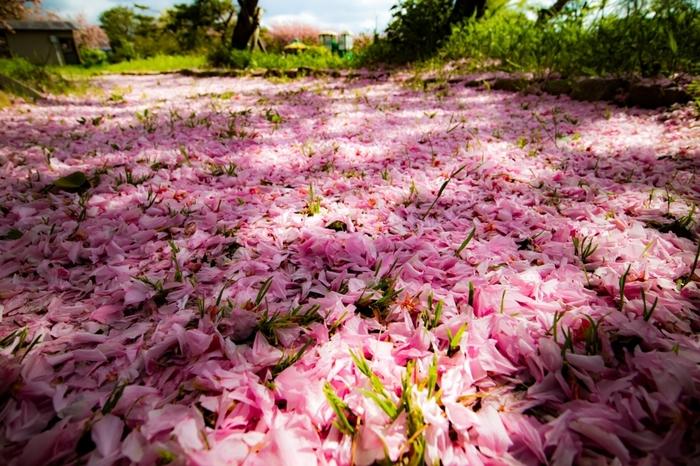 """""""いにしへの奈良の都の八重桜 けふ九重に匂ひぬるかな""""(by 伊勢大輔)百人一首でもおなじみ♪ どっしりと落ち着いたさまが、花言葉の由来なのでしょう。ぶ厚い落花はゴージャスの一言!"""