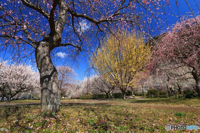 桜やコブシの淡い色彩の中で、レンギョウの鮮やかな黄色が、明るい希望のイメージを発散しています。