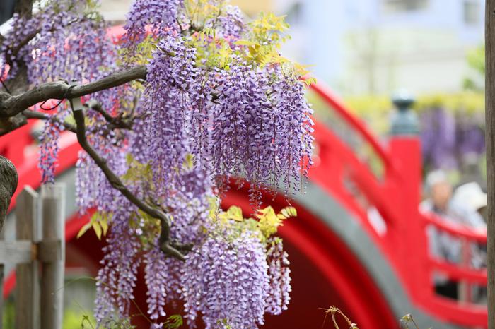 寛文元年(1661年)創建の歴史ある神社の境内は、梅祭り、藤祭り、菊祭りなど花の美しいスポットとしても人気があり、一年を通じて多くの観光客が訪れています。