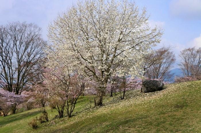 モクレン科モクレン属の落葉広葉樹。梅の開花が終わった冬枯れの里やまちで、大木に、直径10㎝前後の白い花をびっしりつけているさまはとても存在感があります。