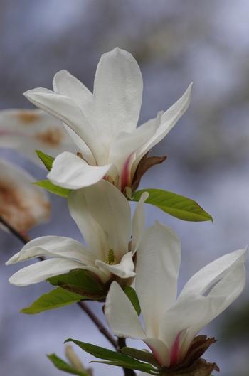 コブシの花が咲くと、農家が種まきをはじめることから、「田打ち桜」と呼ぶ地方もあります。