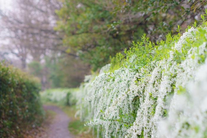 バラ科シモツケ属の落葉低木。柳のように垂れ下がる枝に、小さな白い花を、雪が積もったかのようにたくさんつけます。