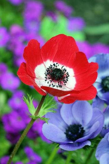 アネモネの花言葉・・・赤いアネモネは「君を愛す」・白は「真実・期待・希望」・ピンクは「待望」・青は「信じて待つ」・紫は「あなたを信じて待つ」。そんなアネモネの語源はギリシア語で「風」を意味する( anemos )から。ギリシア神話で美少年アドニスが流した血からアネモネが生まれたとする素敵な伝説がありますよ!