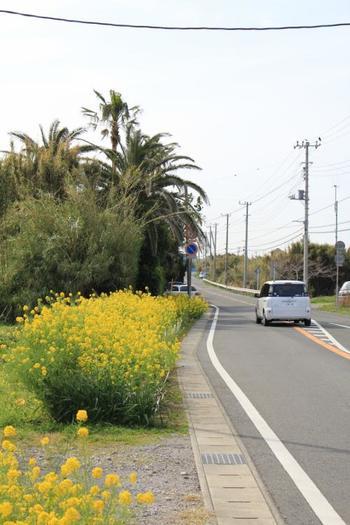 千葉県館山市の下町交差点から南房総市の和田町まで、海岸線を約46km走り、その季節の花巡りをしながらドライブできる道路が、房総海岸線の道路が房総フラワーラインです。