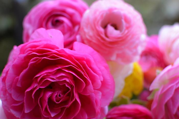 キンポウゲ科キンポウゲ属の半耐寒性多年草。学名は「Ranunculus asiaticus」。 花色は赤やピンクのほか、黄、白、オレンジ、紫、緑まで豊富で、色相も、鮮やかなヴィヴィッド系から青みがかったペール系までさまざま。花びらの縁が内側の色と異なる複輪もあります。