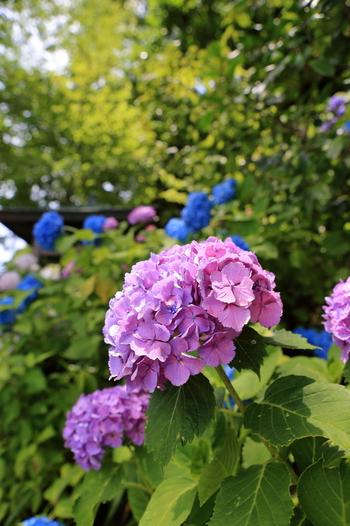 あじさいでも有名な長谷寺。  紫陽花の咲く季節、紅葉の季節…。長谷寺には四季折々の楽しみ方がありますね。