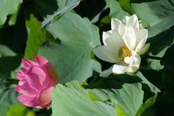 八幡宮といったら源平池も、見ておきたい場所のひとつ。夏は蓮の葉が一面に広がり美しい花が多くの人々を楽しませてくれます。