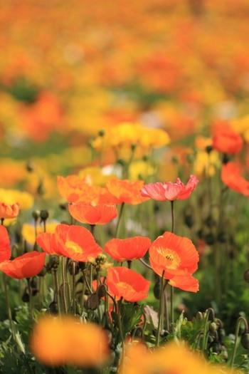 お花を自分で摘むなんて、なかなかできない体験です。ポピー以外にも季節お花を摘むことが出来る貴重なスポットなんですよ。春を感じに是非訪れてみてはいかがでしょうか?