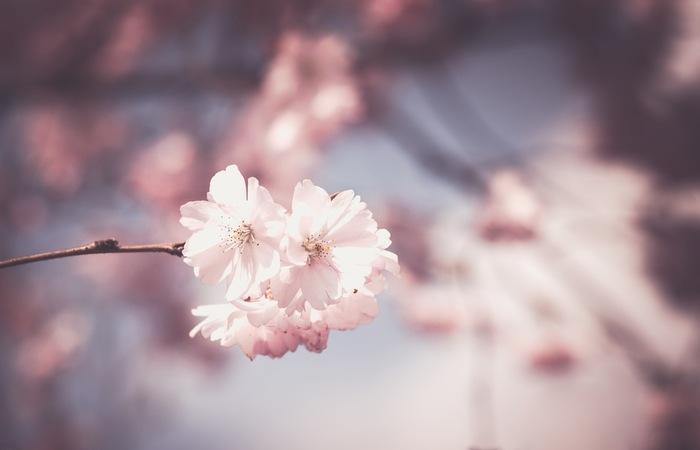 ふんわり春の香り*「桜の塩漬け」を使った春らんまん♪和洋スイーツレシピ
