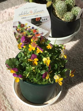 エディブルフラワーはほとんどの場合、味を楽しむというより彩りのために用いられています。 食用花の中でも、基本的に無農薬であれば使用出来る事が多いようです。この写真のような鉢植えでも販売されており、鑑賞用としてお家に置きながらお料理に花を添えたりと一石二鳥♪