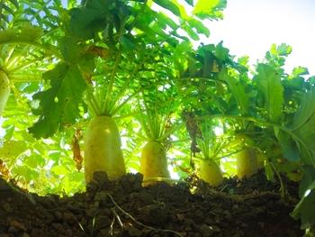 大根が美味しいのは、白い身の部分だけではありません!立派な葉も美味しく頂いちゃいましょう♪カロテンやカルシウム、鉄分など、栄養も豊富なんですよ。
